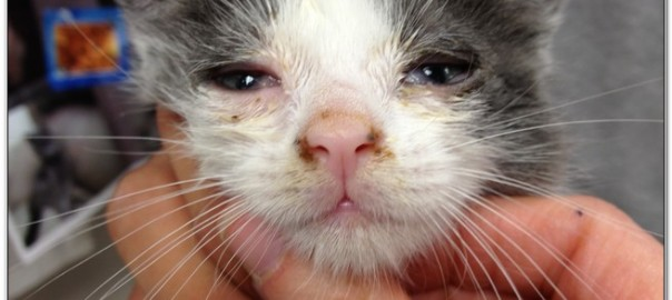 Cat distemper disease at emergency veterinary clinic
