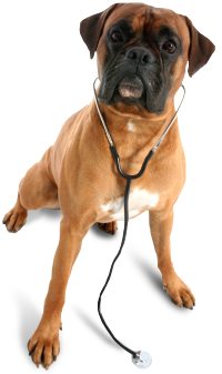 Veterinary Clinic Boxer