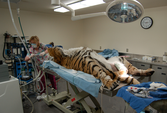 Veterinary Clinic Tiger Examination
